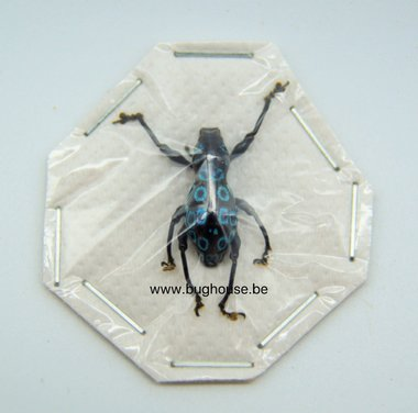 Pachyrrhynchus congestie ocellatus  (Philippines) Bleu