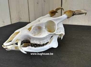 Crâne de Muntjak complet à 100%