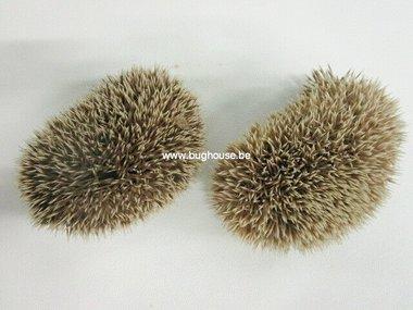 African pygmy hedgehog skin