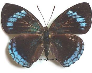 Doxocopa Felderi (Peru)