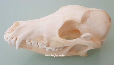Saddle jackal skull