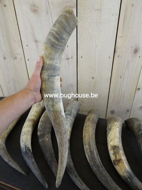 Bos Taurus Watusi horn