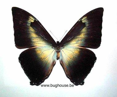 Morpho Phanodemus (Peru)