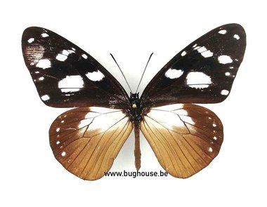 Amauris Damocles (Afrika)