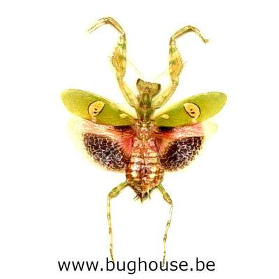 Creobroter gemmatus (Java)