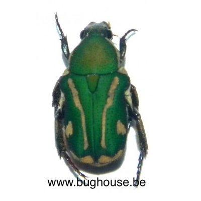Glycyphana fulvipicta (Seram)