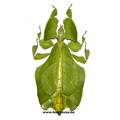 Phyllium Pulchrifolium (Green) (Java)