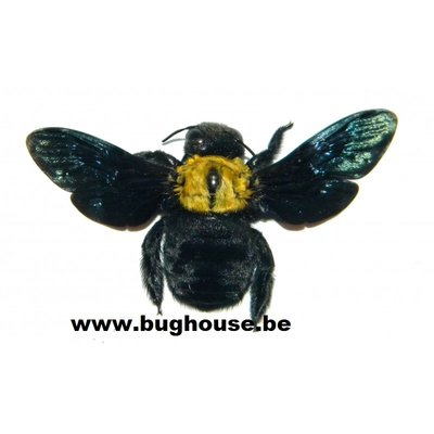 Xylocopa Confusa (China) A-