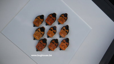 "Catacanthus incarnatus ""Face"" framed"