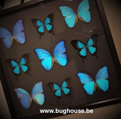 Morpho Didius and Papilio Ulysses big frame
