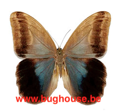Caligo Eurilochus livius (Peru)