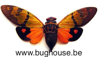 Gaeana festiva -  orange (Malaysia)