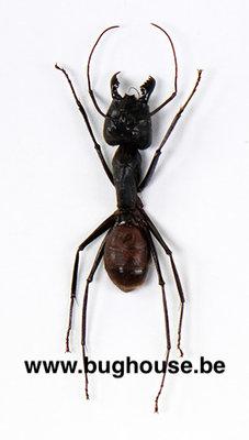 Camponotus Gigas (Malaysia)