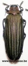 Demochroa Lacordairei (Morotai)