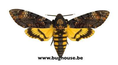 Acherontia Atropos (Death head hawk moth) PACK OF 50