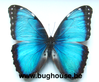 Morpho Helenor carillensis (Costa Rica)  PACK OF 10