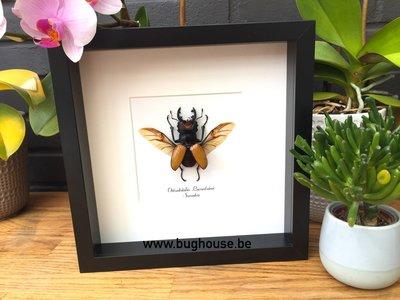 Odontolabis Lacordairei Framed