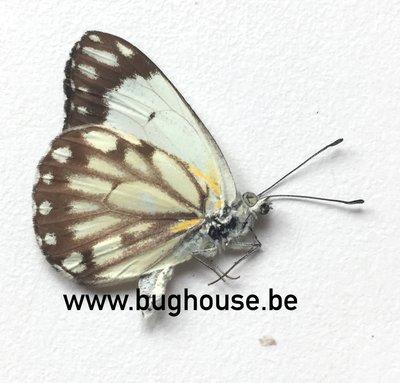Belenois Aurota form 3 (Madagascar) A-