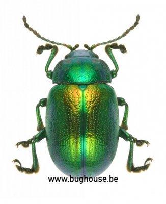 Chrysolina coerulans (Peru) Green