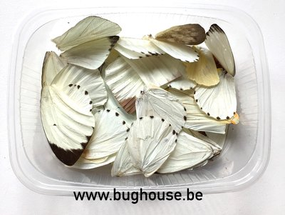 White butterfly wings for art work
