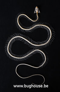 Dendrelaphis pictus snake (Skeleton)