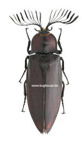Oxynopterus Candacei (Kalimantan)