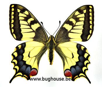 Papilio Machaon (Greece) FEMALE