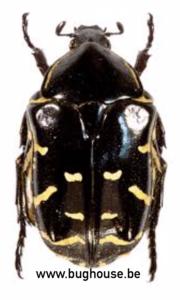 Protaetia Celebica (Sulawesi)