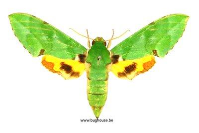 Euchloron megaera (Uganda)