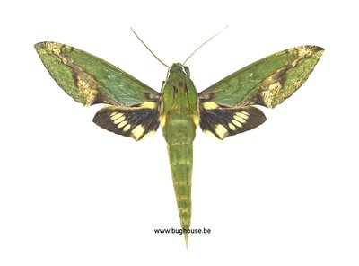 xylophanes chiron  (Brazil)