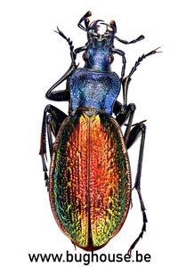 Carabus Hispanus (France)
