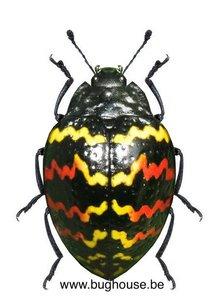 Erotylus peruvianus (Peru)