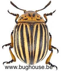 Leptinotarsa decemlineata (Jamaica)