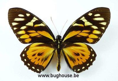 Papilio Zagreus (Pérou) ♂︎