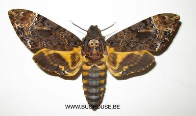 Acherontia Lachesis (Sulawesi) ♀︎