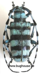 Anoplophora Medenbachii sumatrensis (Sumatra)  ♀︎