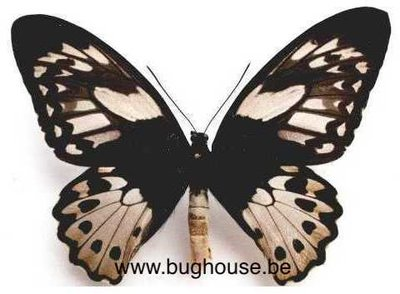 Ornithoptera Priamus poseidon female (indonesia) **cites**