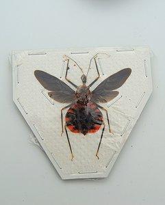 Reduviidae sp. (Java) ♂︎/♀︎ **SPREAD**