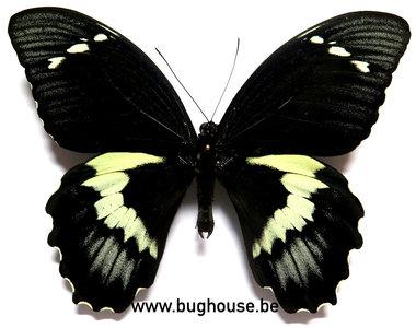 Papilio Gambrisius Buruanus (Buru) ♂︎