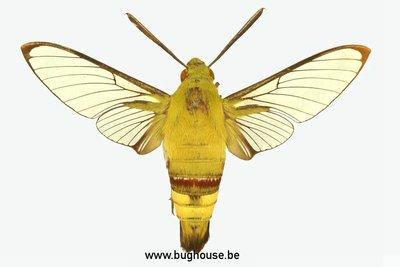 Cephonodes hylas (Bali) ♂︎/♀︎