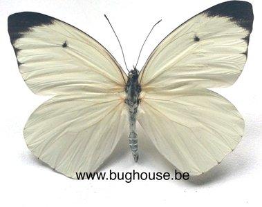 Ascia buniae (Peru) front