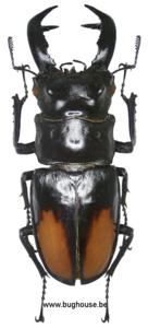 Hexarthrius Parryi Paradoxus (Sumatra) ♂︎