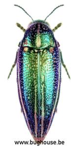 Amblysterna Natalensis (Tanzania) PAIR