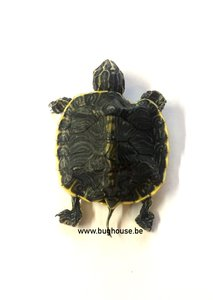 Dried water turtle