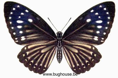Euploea Mulciber (Philippines) Female
