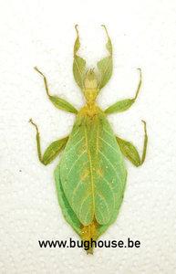 Phyllium Hausleithnerii (Sumatra)