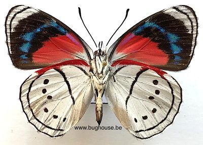 Mesotaenia Vaninka (Peru)