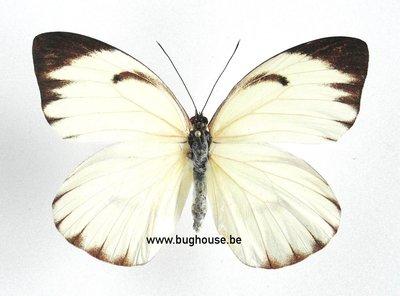 Ascia buniae (Peru)♀︎