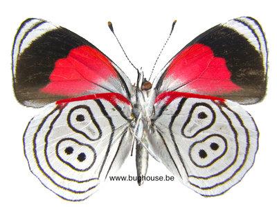 Diaethria Neglecta (Peru)