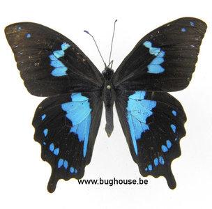 Papilio Epiphorbas (Madagascar) ♂︎
